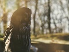 Bartkauz - Bird Bokeh | 31. März 2019 | Schleswig-Holstein - Deutschland