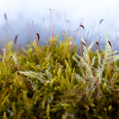 Moss with sporophytes at Theodore Wirth Regional Park, Minnesota