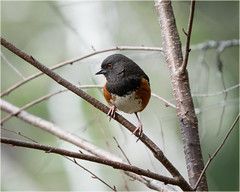 towhee kind of day