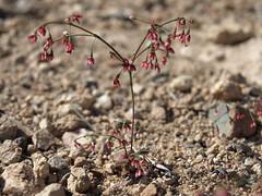Esmeralda buckwheat, Eriogonum esmeraldense var. esmeraldense