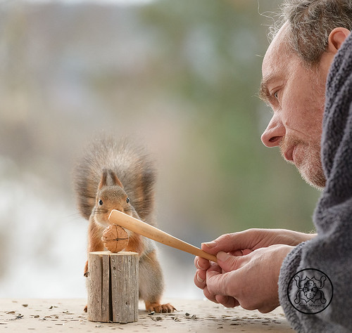 Red squirrel looking at walnut while man golding a bat