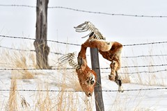 Skin & Bones on Fence