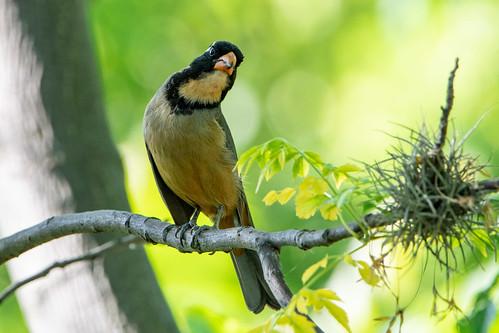 Pepitero de collar - Golden-billed saltator