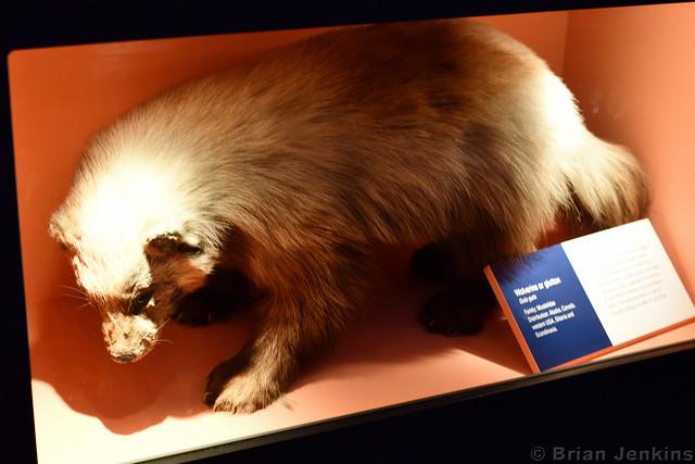 Wolverine or Glutton (Stuffed)