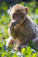 Young macaque eating