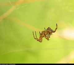 20170714_1 Female tropical tent-web spider (Cyrtophora citricola) in shade | Antibes, France