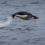 Adelie Penguin Porpoising by Richard White