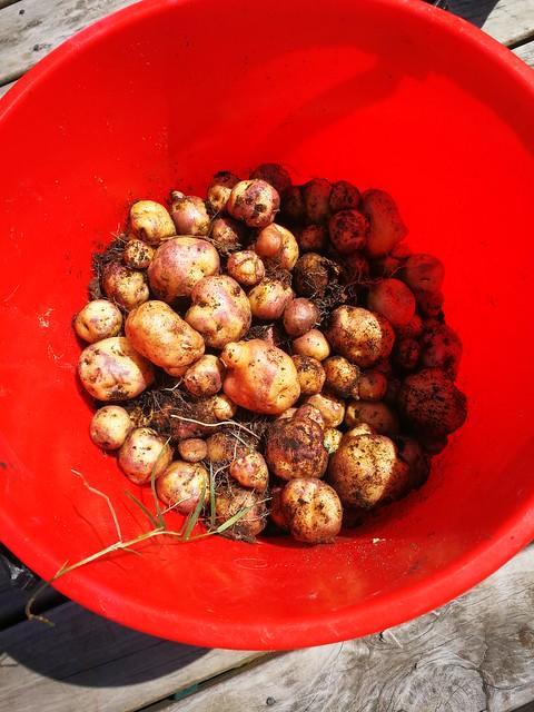 huakaroro taewa potato