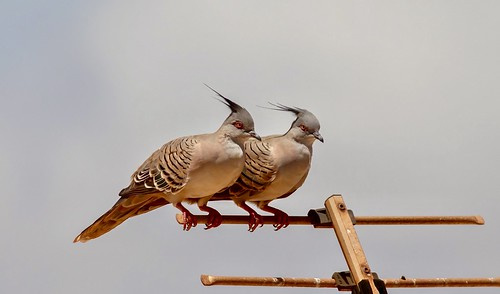 Pair of Tufted Doves
