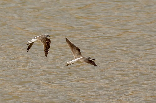 Broad-billed Sandpipers ???