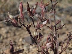 Heller birdbeaks, Cordylanthus kingii subsp. helleri