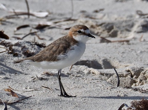 Red-capped Plover (F) - (Charadrius ruficapillus)