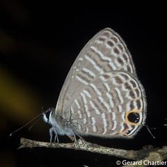Nacaduba pavana vajuva (Small Fourline Blue)