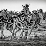 1st - PDI League 5 - Charging Zebras by Rachel Dunsdon