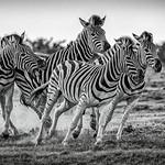 1st - PDI League 5 - Charging Zebras by Rachel Dunsdon