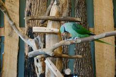 Alexandrine Parakeet, Bird Kingdom, Niagara Falls