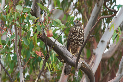 Goshawk on the lookout