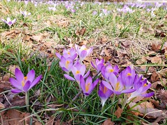 The First Crocuses Of The Year