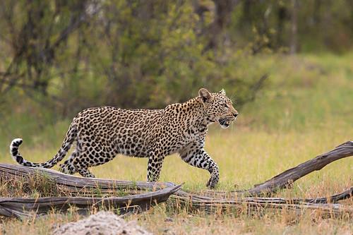 Shy little Leopard