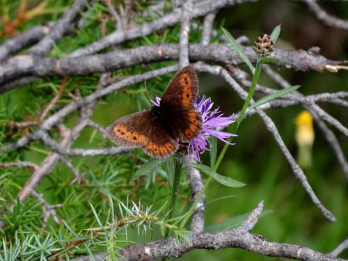 Schmetterling (unbestimmt) (Lepidoptera indet.) (1)