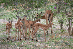 Junge Impalas / Impala Fawns