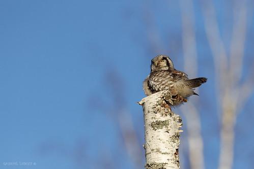 Chouette épervière Surnia ulula - Northern Hawk-Owl  4417_DxO