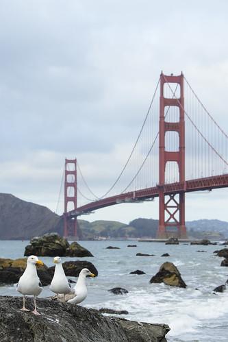 Gaviotas y Golden Gate Bridge
