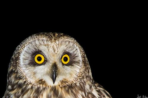 Coruja-do-nabal - short-eared owl (Asio flammeus) (2)