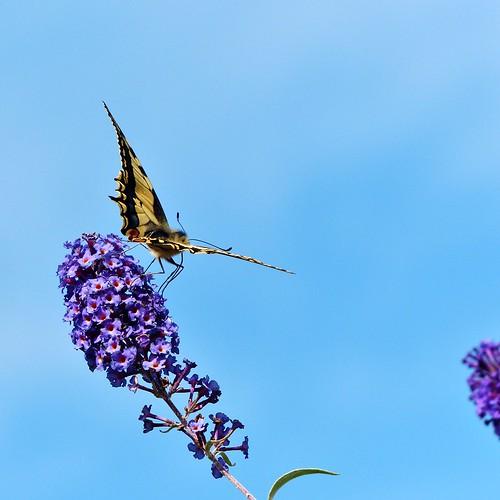 Lede Koninginnenpage (1)  (Papilio machaon) Swallowtail