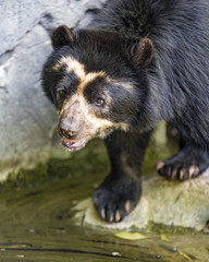 A spectacled bear at the pond