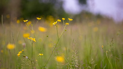 Buttercups in the wild