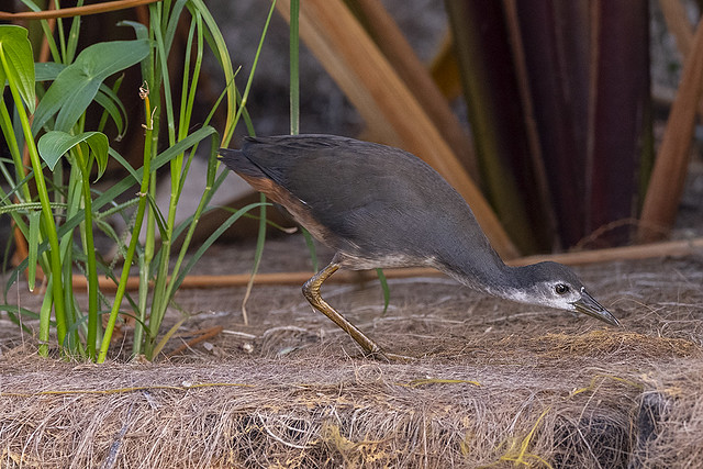 Amaurornis phoenicurus phoenicurus  - young adult