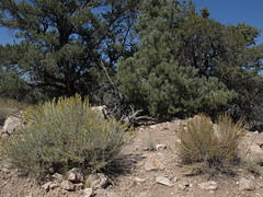 mountain sagebrush, Artemisia tridentata subsp. vaseyana (left) and black sagebrush, Artemisia nova (right)
