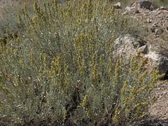 mountain sagebrush, Artemisia tridentata subsp. vaseyana