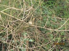 Pouillot de Sibérie ( ssp tristis )