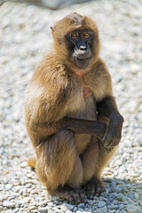 Young gelada sitting on the stones