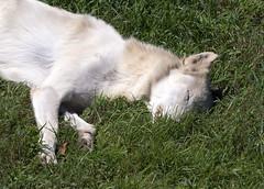 Memphis Zoo 08-29-2019 - Wolves 15