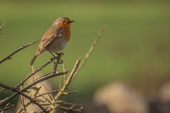 Robin perched  (Erithacus rubecula)