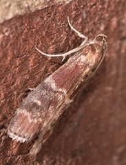 Root Collar Borer Moth