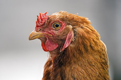 Portrait of a brown hen