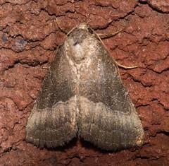 Common Pinkband Moth