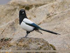 Black-billed Magpie (Pica pica)