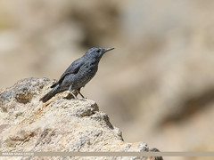 Blue Rock Thrush (Monticola solitarius)