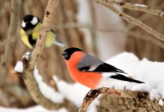 Bullfinch and Great tit