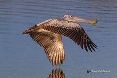A Spot Billed Pelican in Flight