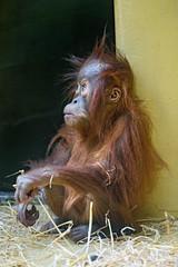 Sitting baby orangutan