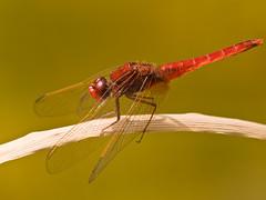 Libellen - Dragonflies
