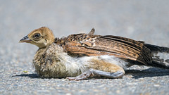 Baby peacock lying on the way