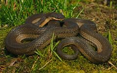 Graham's Crayfish Snake (Regina grahamii)