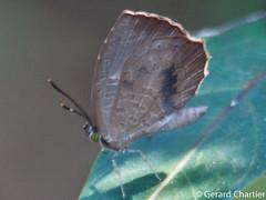 Miletus mallus mallus, female